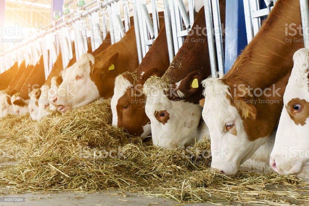 Simmental Cows Feeding At The Farmhouse stock photo
