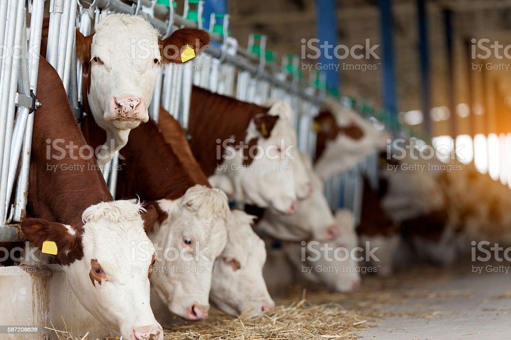 Simmental Cows Feeding stock photo