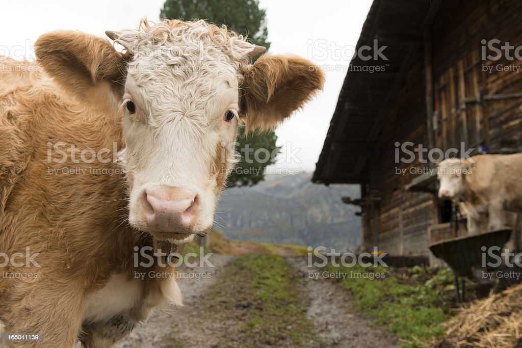 Simmental Cows in Bernese Oberland Switzerland royalty-free stock photo