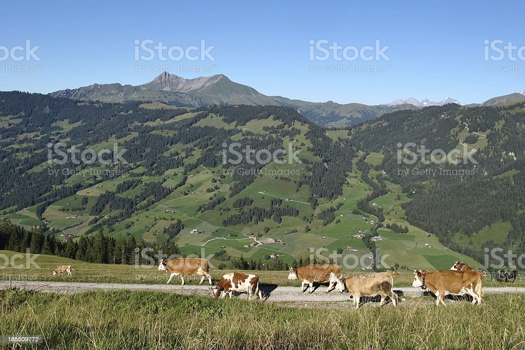 Simmental cows royalty-free stock photo
