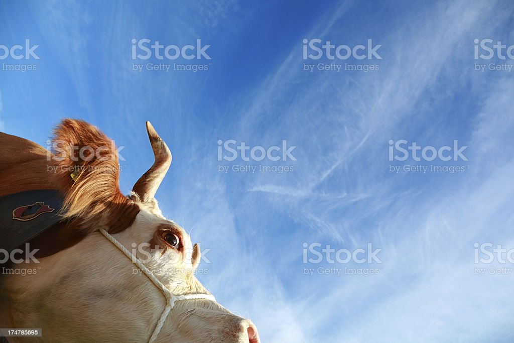 simmental swiss dairy cow against blue sky royalty-free stock photo