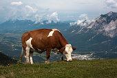 Simmentaler on mountain meadow