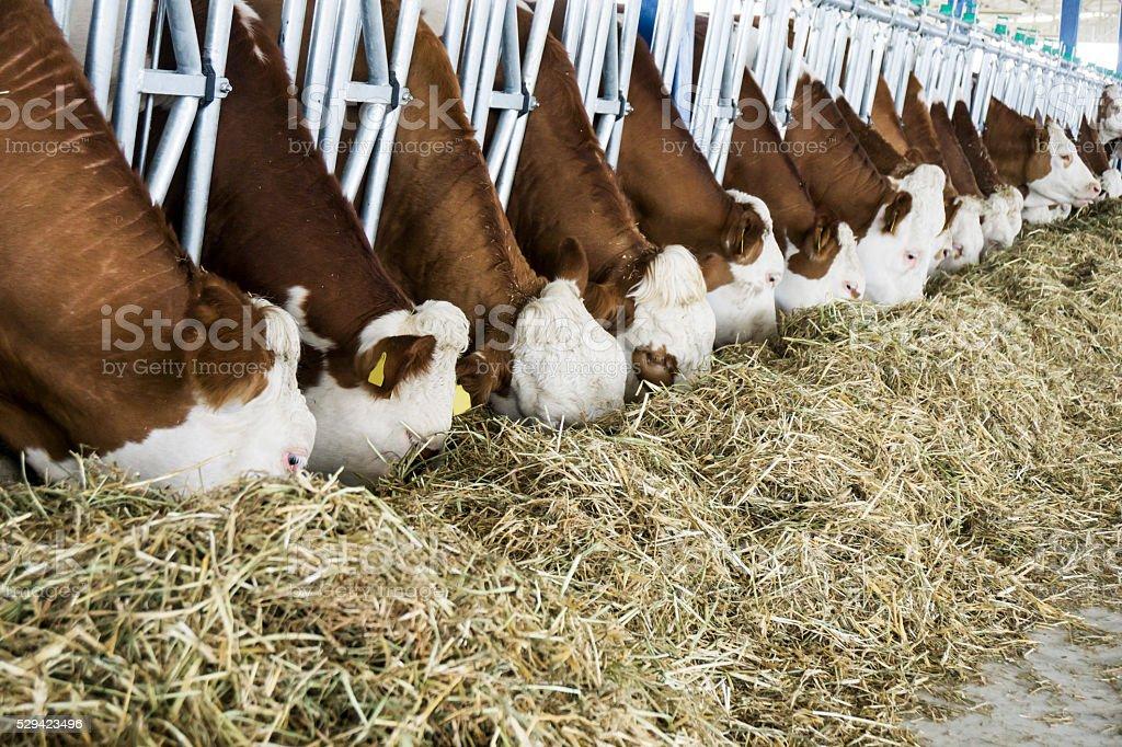 Simmentral Cows Feeding stock photo