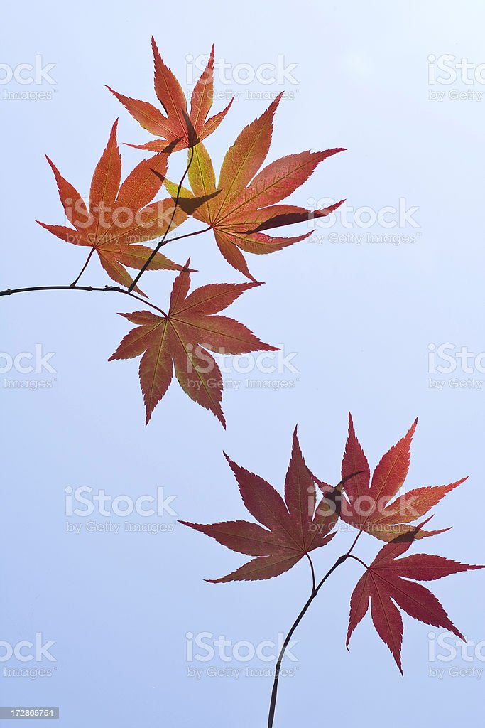 Simple Asian Leaf Background royalty-free stock photo