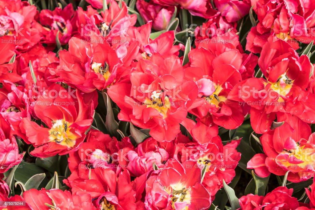 Simple early tulips Duc Van Tol Orange stock photo