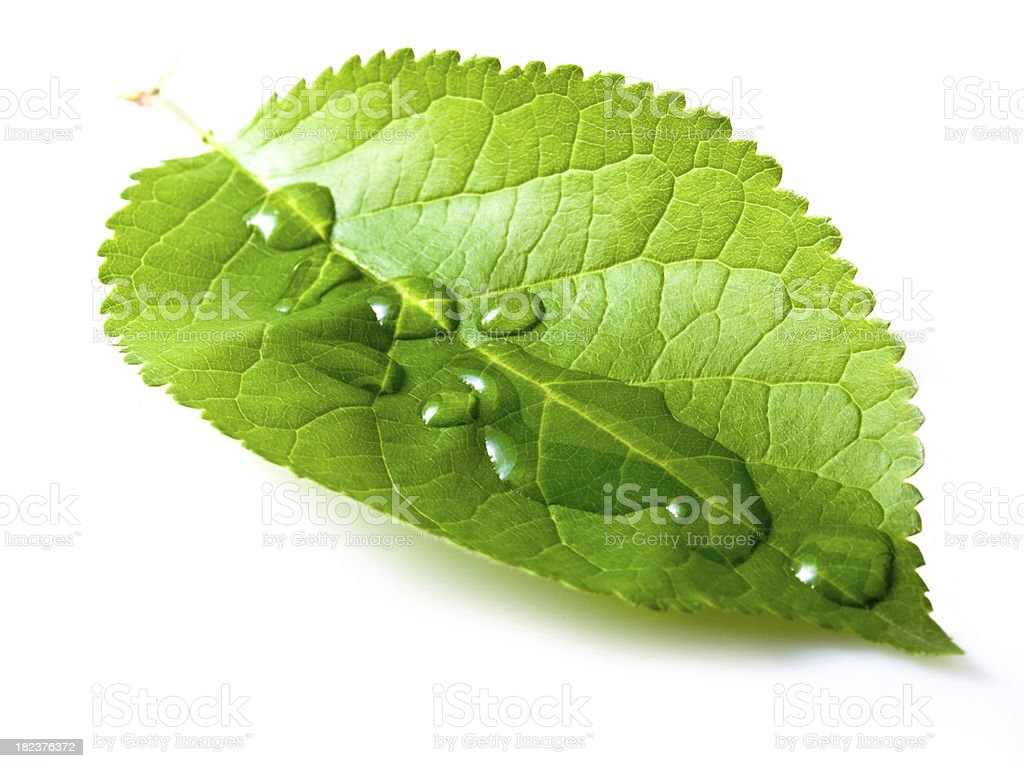 simple leaf royalty-free stock photo