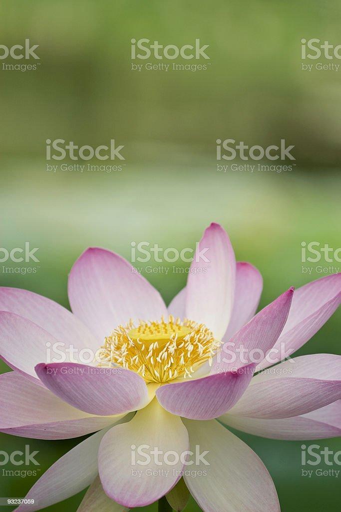 Simple lotus royalty-free stock photo