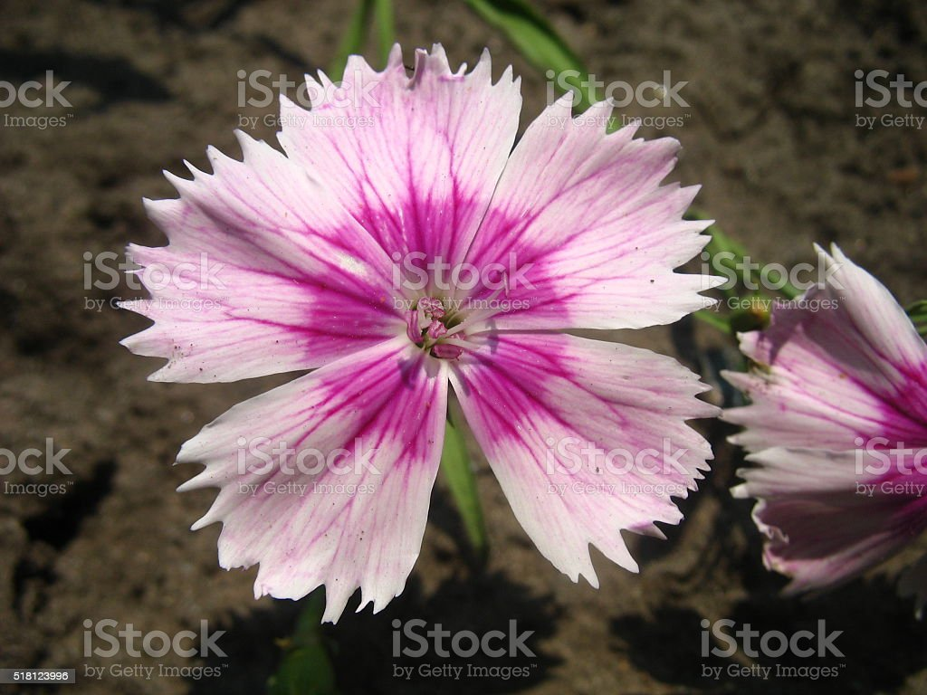 simple pink carnation stock photo