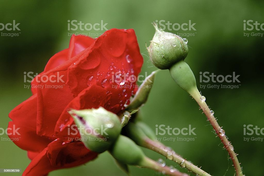 Simple Red Rose stock photo
