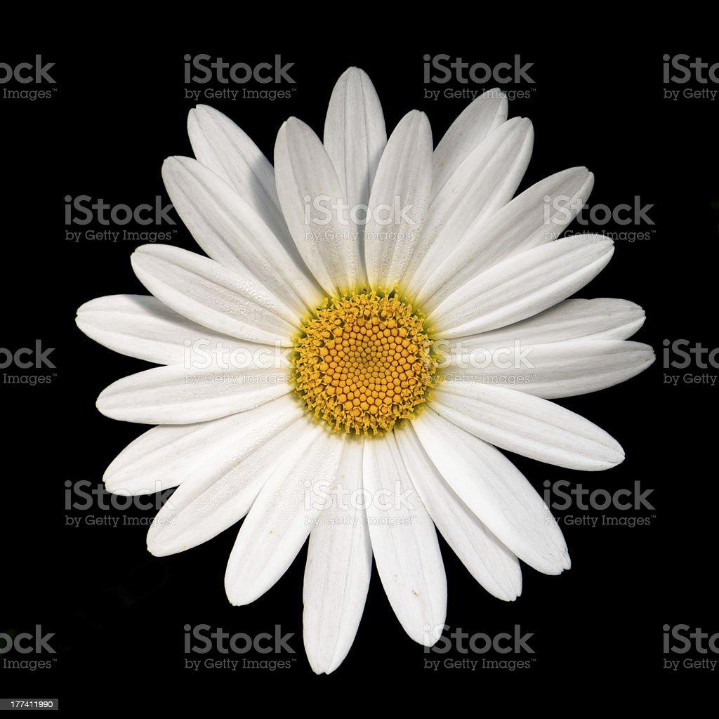 Simple white daisy stock photo