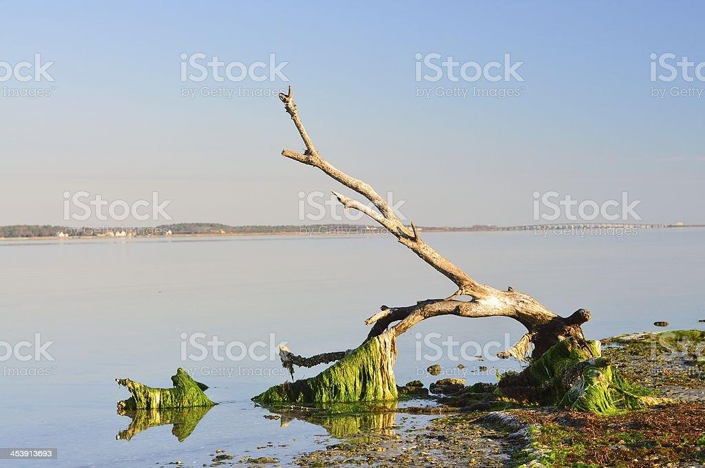 Sinepuxent Bay Driftwood stock photo