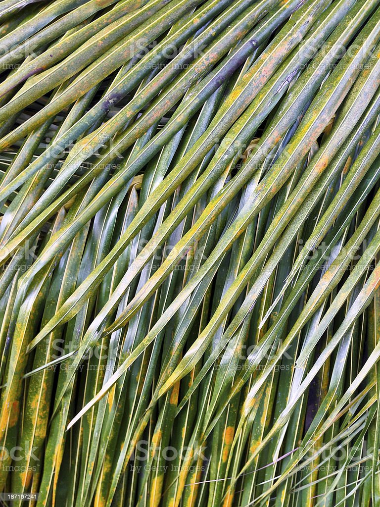 Singapore, coconut frond. royalty-free stock photo