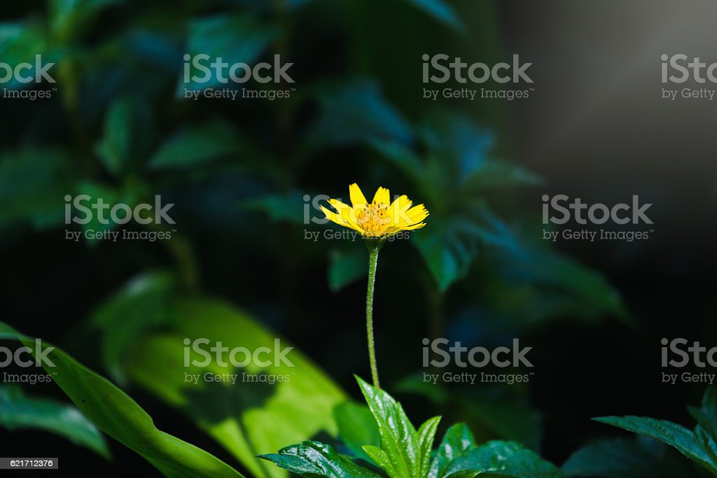 Singapore daisy with sunlight and shadow stock photo
