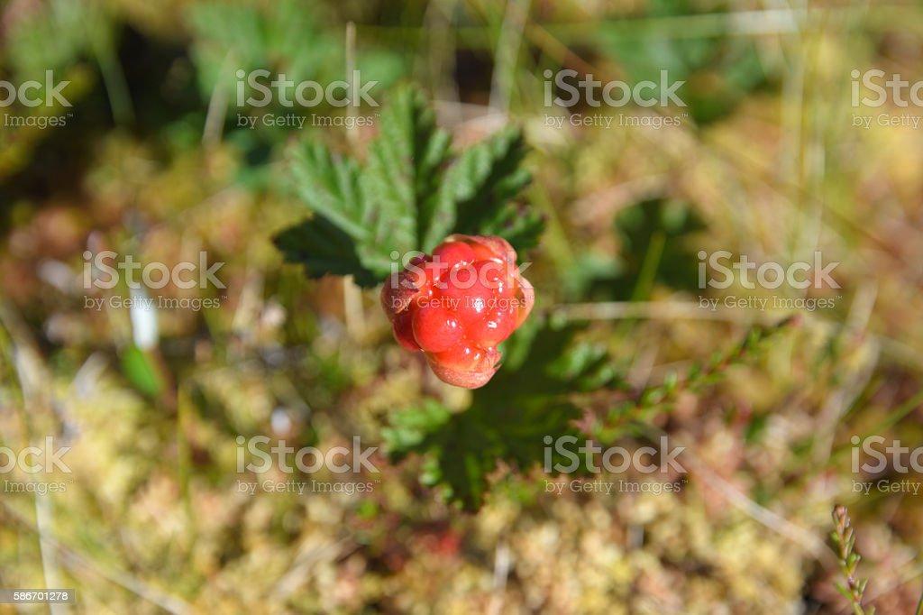 Singel cloudberry stock photo