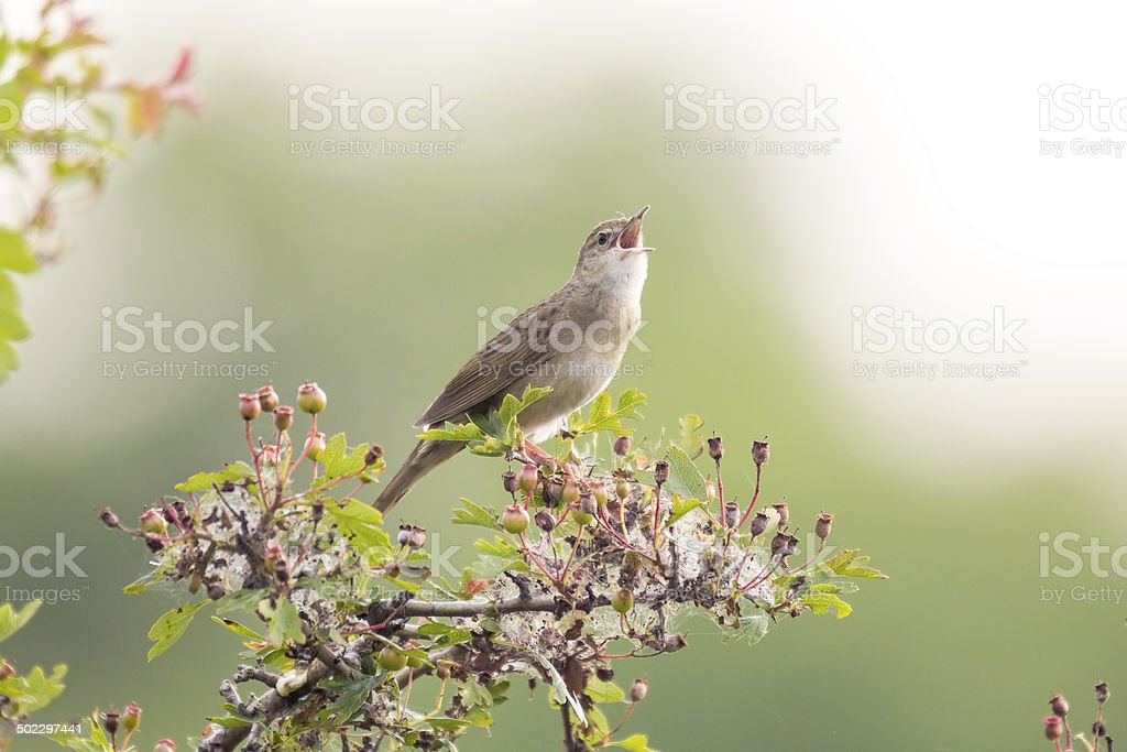 Singing bird in search for a mate stock photo