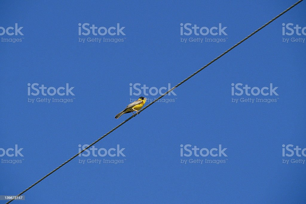 Singing Bird on Wire royalty-free stock photo