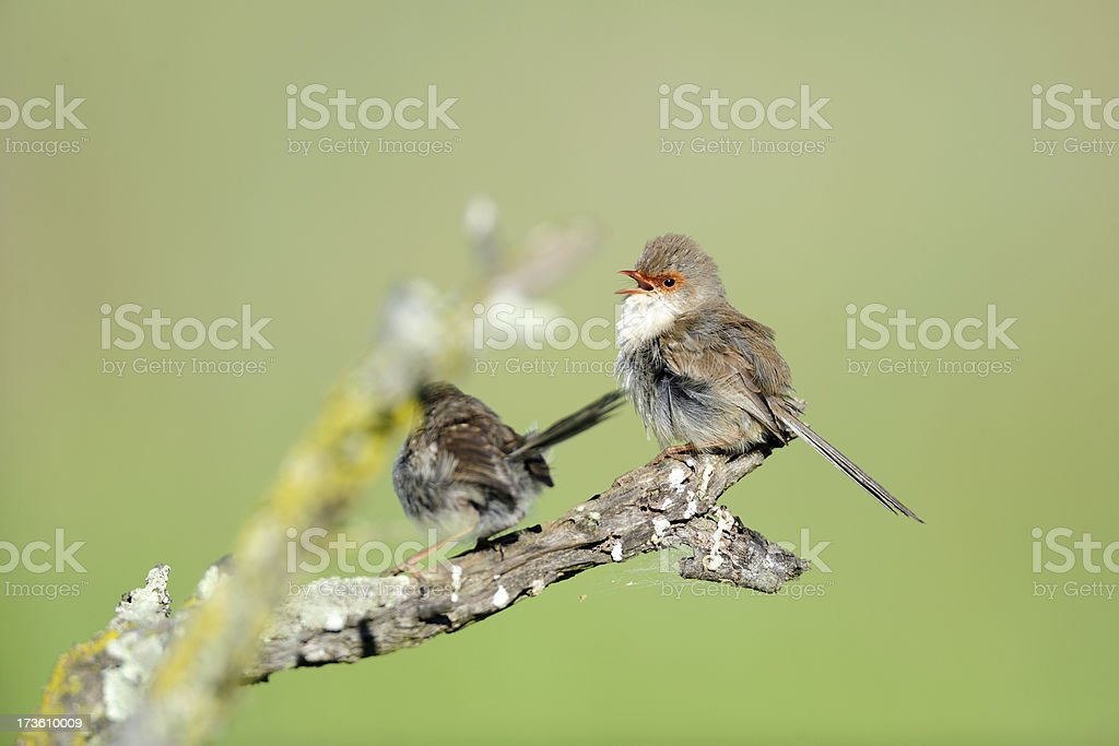 Singing birds stock photo