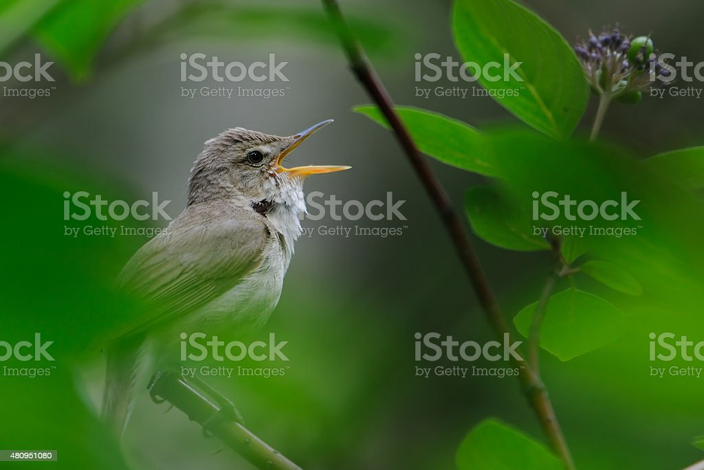 Singing Blyth's reed warbler stock photo