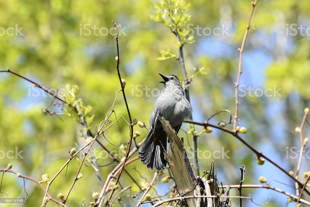 Singing Catbird royalty-free stock photo