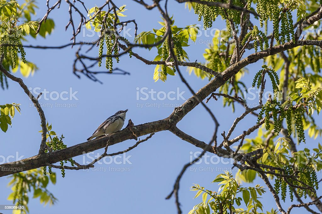 Singing Cerulean Warbler (Dendroica Cerulea)  On Tree Branch stock photo