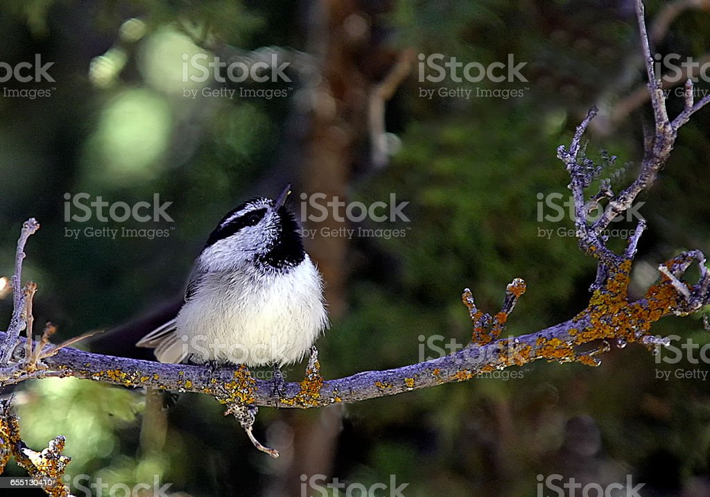 Singing Chickadee perched on a branch in a forest stock photo