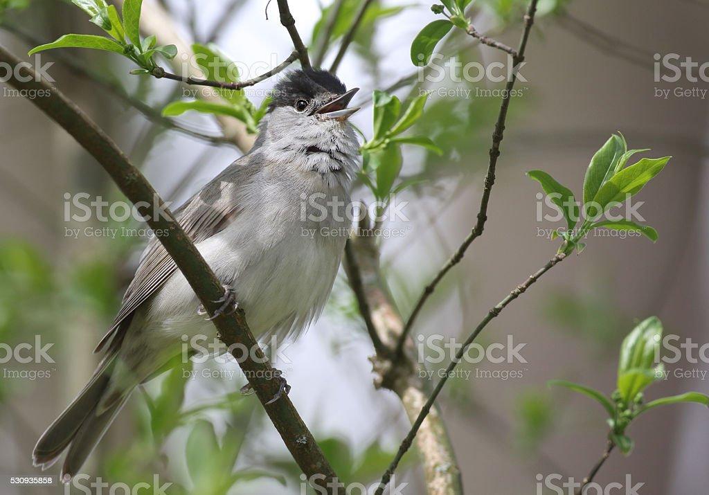 Singing Male Eurasian blackcap (Sylvia atricapilla) stock photo