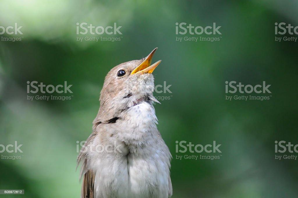 Singing nightingale against green background stock photo