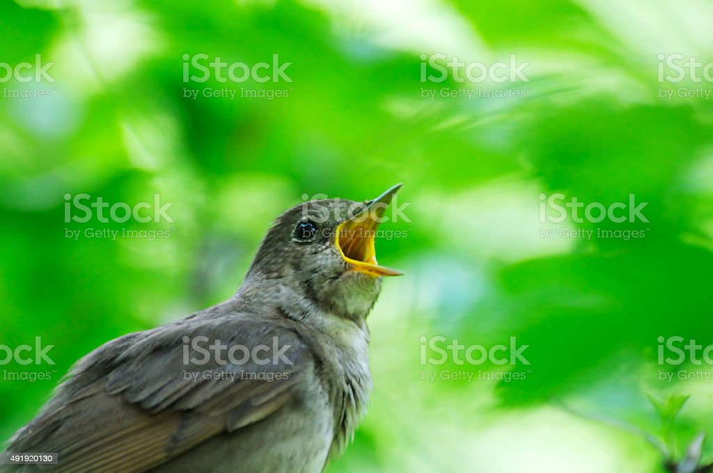 Singing Nightingale against the green leaves backgound stock photo