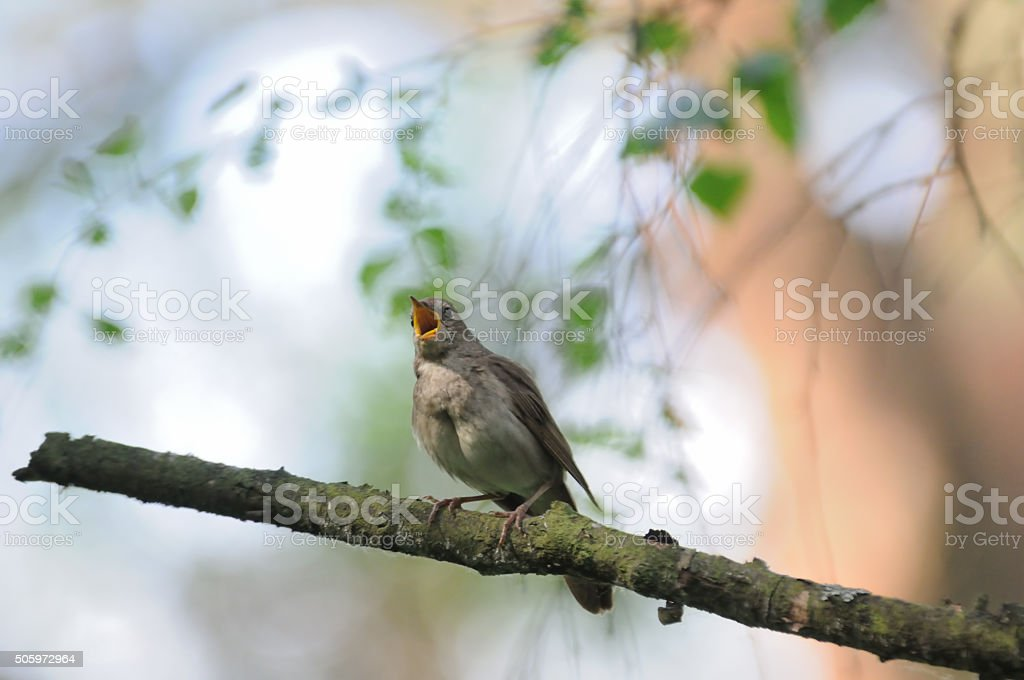 Singing nightingale in bright spring forest stock photo