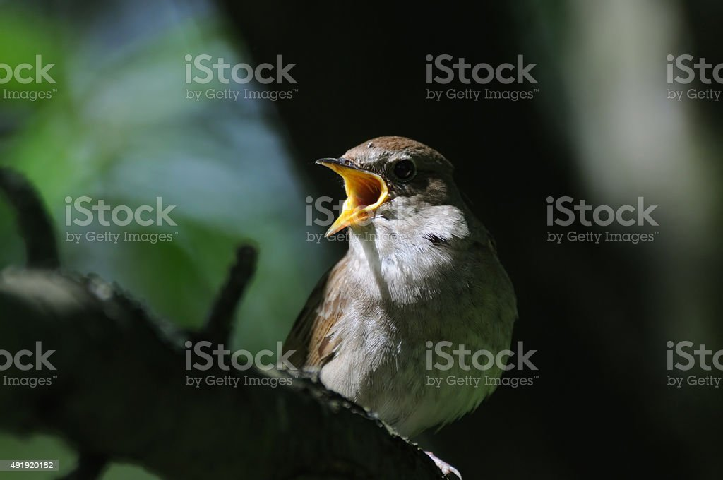 Singing nightingale in dark forest stock photo