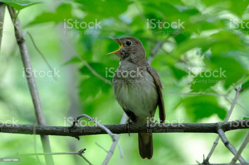Singing nightingale in green spring forest stock photo