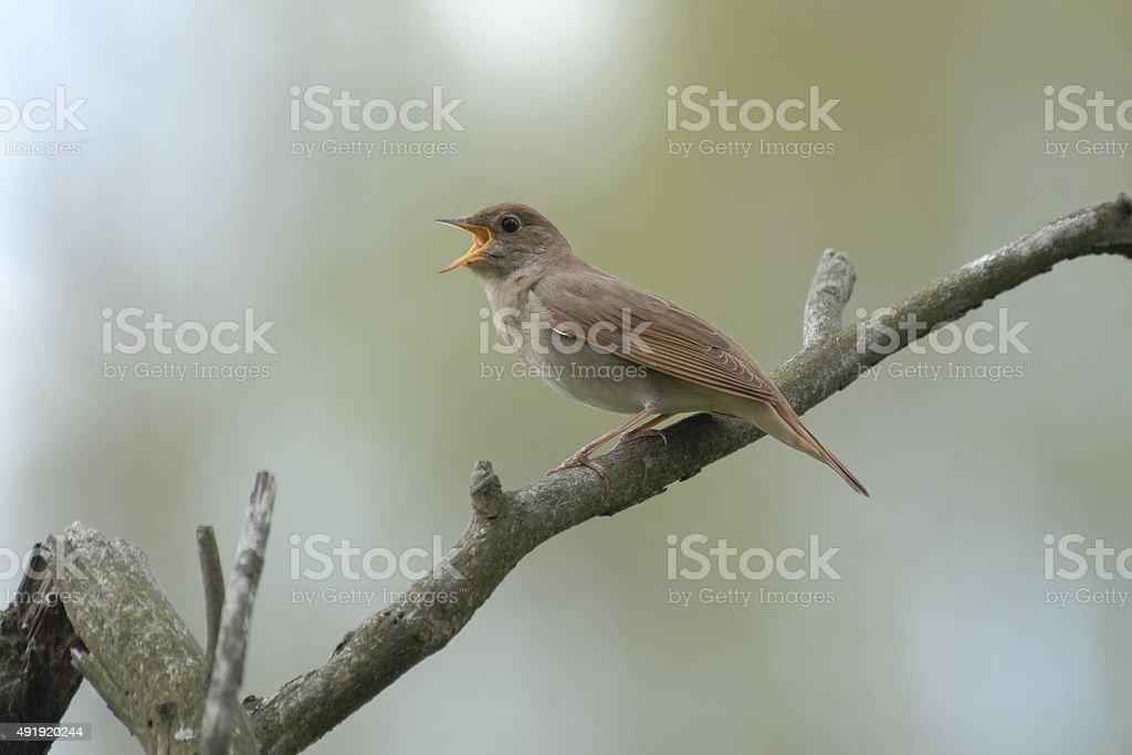 Singing nightingale on dry branch stock photo