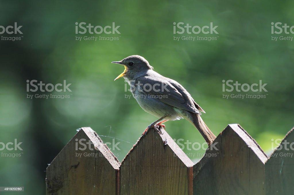 Singing Nightingale on the fence stock photo