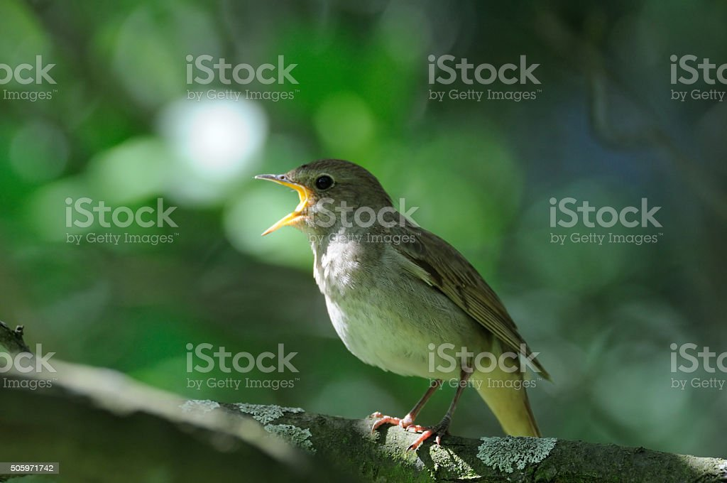 Singing nightingale stock photo