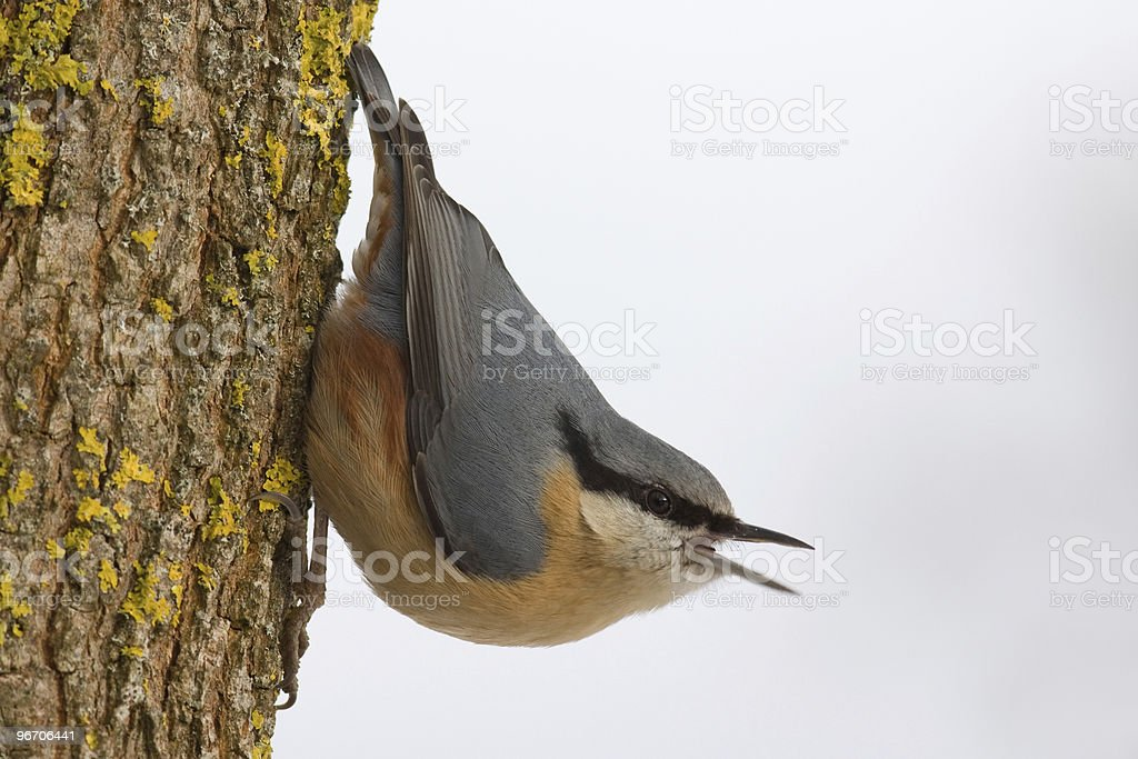 singing nuthatch stock photo