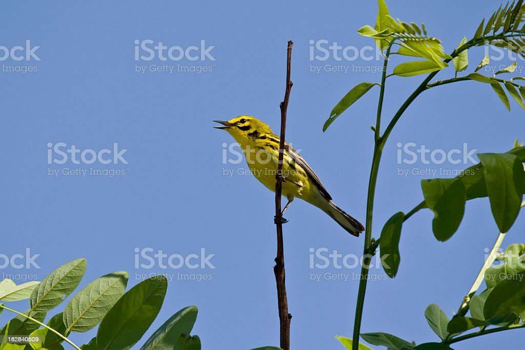 Singing Prairie Warbler (Dendroica discolor) stock photo
