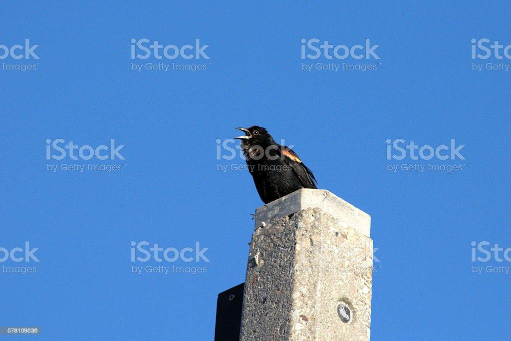 Singing Red-winged Blackbird stock photo