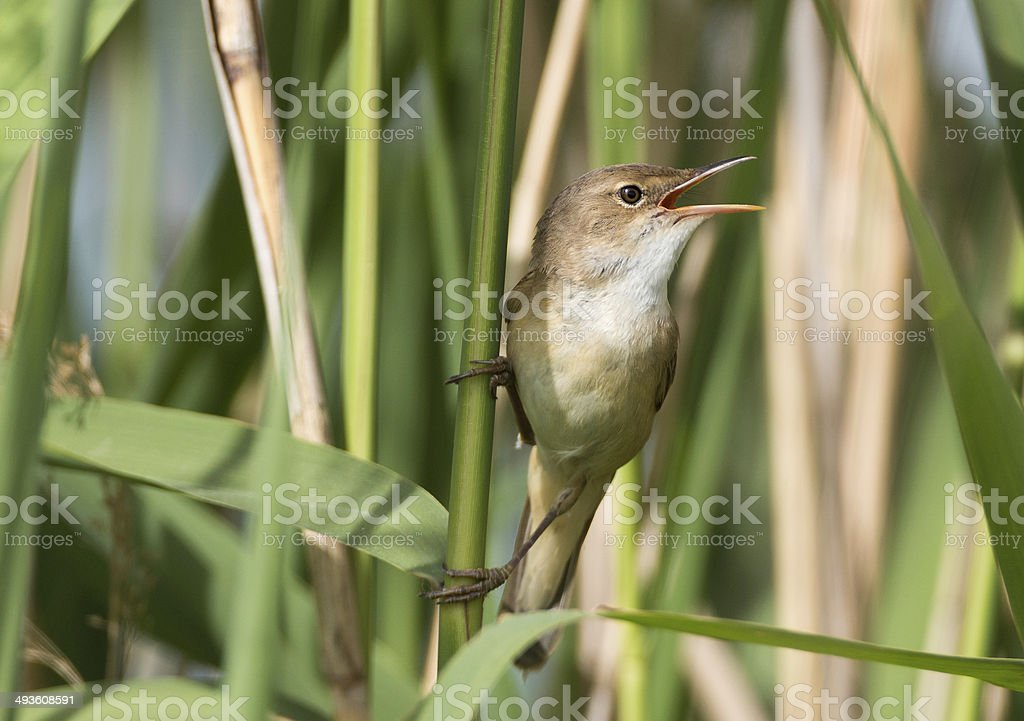 Singing Reed Warbler (Acrocephalus scirpaceus) stock photo