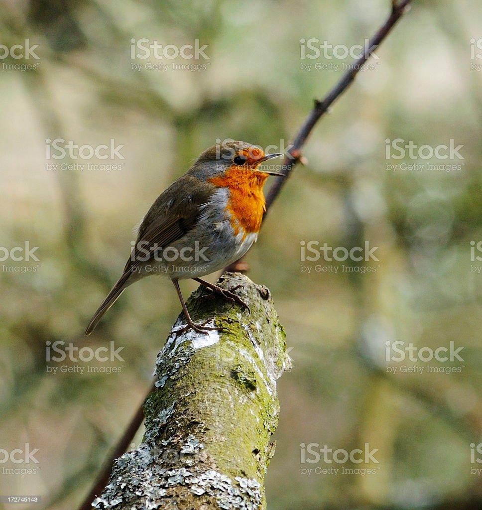 Singing Robin royalty-free stock photo