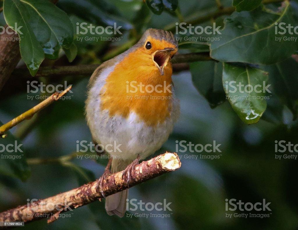 Singing Robin stock photo