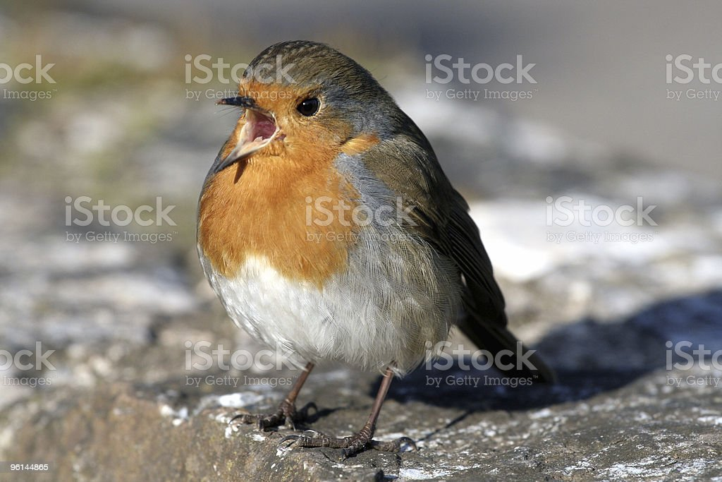 Singing Robin royalty-free stock photo