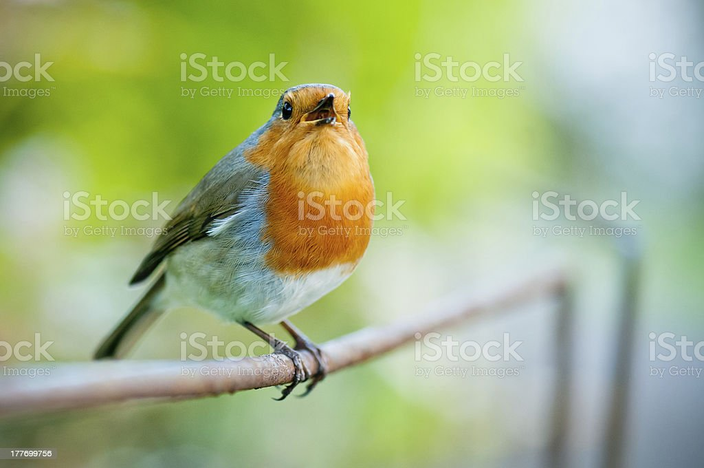 Singing robin red breast royalty-free stock photo