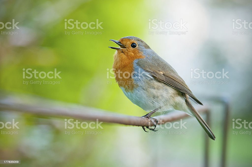 A singing robin with orange face singing on a tree stock photo