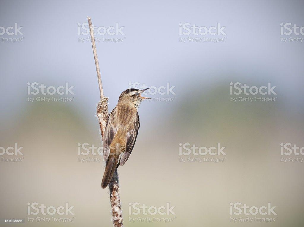 singing sedge warbler stock photo