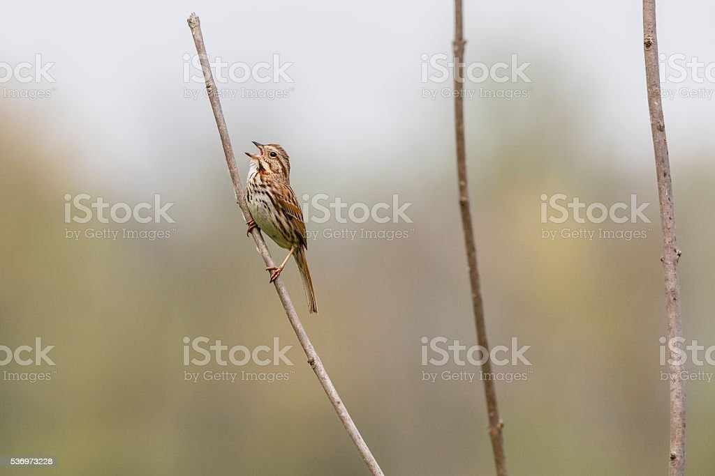 Singing Song Sparrow (Melospiza georgiana) On Marsh Plant stock photo