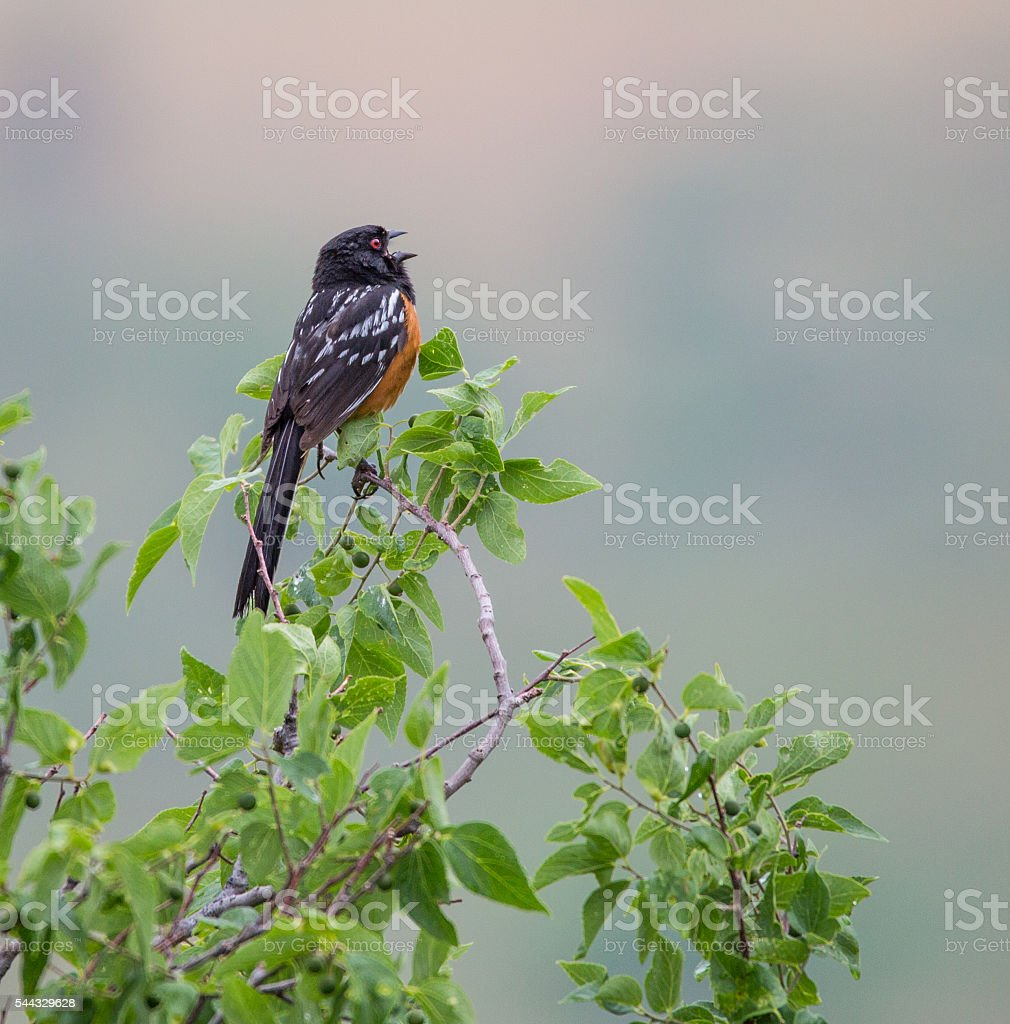 singing spotted towhee stock photo