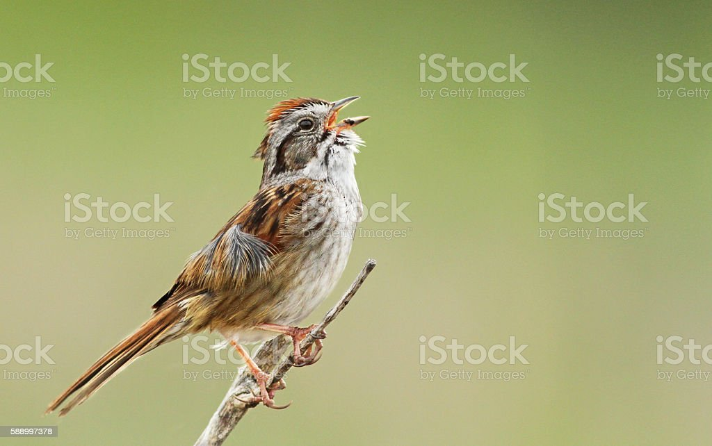 Singing Swamp sparrow stock photo