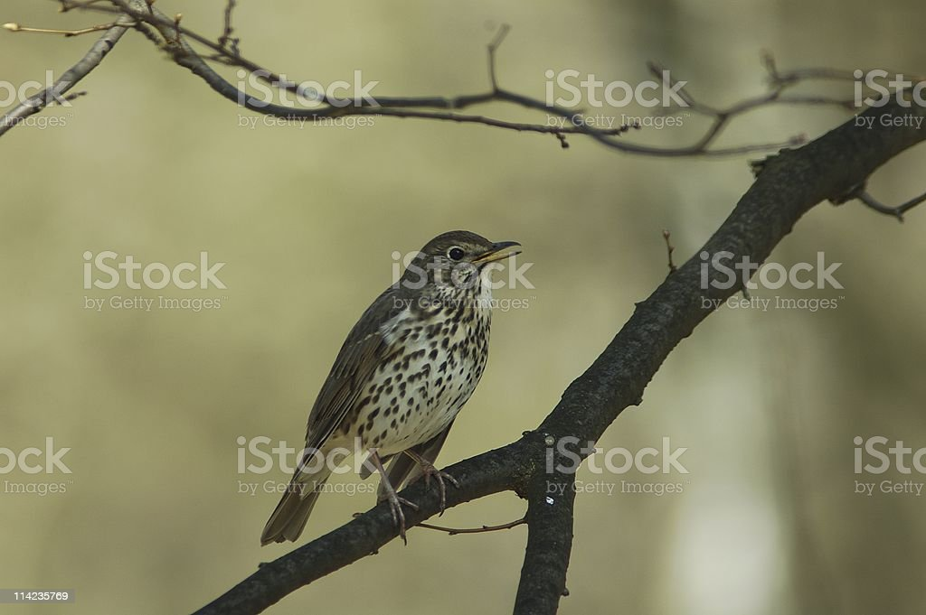 Singing thrush royalty-free stock photo