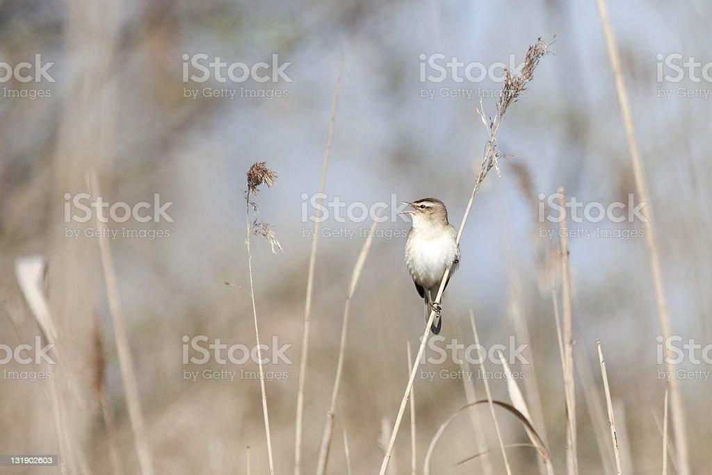 singing warbler stock photo