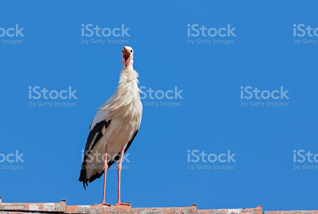 Singing white stork (Ciconia ciconia) stock photo